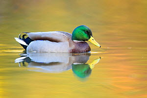 Mallard (Anas platyrhynchos) male swimming with autumn colours reflected in the water, London, UK, November  -  Oscar Dewhurst