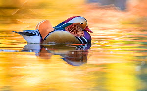 Mandarin duck (Aix galericulata) male swimming with autumn colours reflected in the water, London, UK, November  -  Oscar Dewhurst