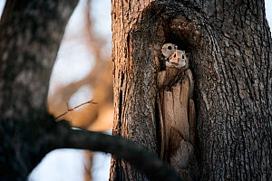 Pair of Japanese dwarf flying squirrels (Pteromys volans orii) nesting in tree hollow. Male in front, female peeking out from behind.  -  Tony Wu