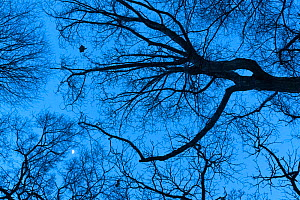 Japanese dwarf flying squirrel (Pteromys volans orii) gliding through tree canopy after sunset, with moon visible. Hokkaido, Japan.  -  Tony Wu