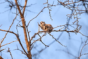 Japanese dwarf flying squirrel (Pteromys volans orii) feeding on leaf buds of a Japanese elm (Ulmus davidiana var. japonica) during winter, Hokkaido, Japan.  -  Tony Wu