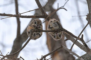 Pair of Japanese dwarf flying squirrels (Pteromys volans orii) during the reproductive season, on branch nlooking down, Hokkaido, Japan. The female is on the left, male right.  -  Tony Wu