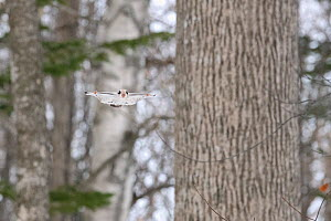 Japanese dwarf flying squirrel (Pteromys volans orii) gliding through snowy forest, Hokkaido, Japan.  -  Tony Wu