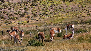 Herd of Guanacos (Lama guanicoe) grazing in grassland, Torres del Paine National Park, Patagonia, Chile, January.  -  Ashley Cooper