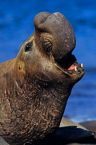 Northern elephant seal (Mirounga angustirostris) male calling, threatening in territorial display, Guadalupe Island Biosphere Reserve, off the coast of Baja California, Mexico, January  -  Claudio Contreras