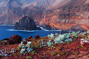 Guadalupe cistanthe (Cistanthe guadalupensis) succulent, Negro Islet with main island in background, Guadalupe Island Biosphere Reserve, off the coast of Baja California, Mexico, March  -  Claudio Contreras
