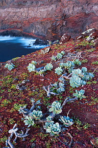 Guadalupe cistanthe (Cistanthe guadalupensis) succulent, Negro Islet with main island in the back, Guadalupe Island Biosphere Reserve, off the coast of Baja California, Mexico, March  -  Claudio Contreras