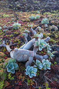 Guadalupe cistanthe (Cistanthe guadalupensis) succulent, Negro Islet, Guadalupe Island Biosphere Reserve, off the coast of Baja California, Mexico, March  -  Claudio Contreras