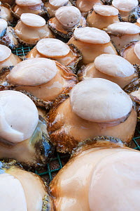 Green abalone (Haliotis fulgens) ready to be exported from island, Guadalupe Island Biosphere Reserve, off the coast of Baja California, Mexico, April  -  Claudio Contreras