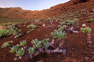 Guadalupe cistanthe (Cistanthe guadalupensis) succulent inside the volcanic crater, Zapato Islet, Guadalupe Island Biosphere Reserve, off the coast of Baja California, Mexico, September  -  Claudio Contreras