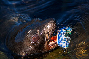 Guadalupe fur seal (Arctocephalus townsendi) pup with discarded metal can scrap attached to lower mandible, Guadalupe Island Biosphere Reserve, off the coast of Baja California, Mexico, April  -  Claudio Contreras