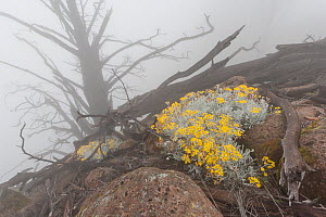 Guadalupe Island white sage (Senecio palmeri) flowers amongst the dead old growth remains of Guadalupe cypress tree (Cupressus guadalupensis). Goats ate all the seedlings, but now plants are starting...  -  Claudio Contreras