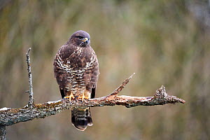 Common buzzard (Buteo buteo) perched on branch. Moselle, France, February.  -  Eric Baccega