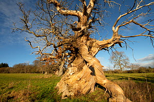 Veteran Sweet Chestnut (Castanea sativa) trees planted in the formation of the Spanish Armada, Croft Castle, Herefordshire, England, UK. December.  -  Will Watson