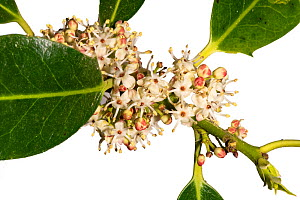 Holly (Ilex aquilium) male flowers, woodland, Herefordshire Plateau, England, focus stacked in controlled conditions.  -  Will Watson