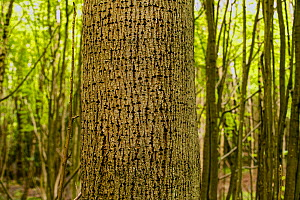 Small-leaved lime (Tilia cordata) tree with holes made by Great spotted woodpeckers (Dendrocopus major), Shrawley Wood SSSI, Worcestershire, England, UK.  -  Will Watson
