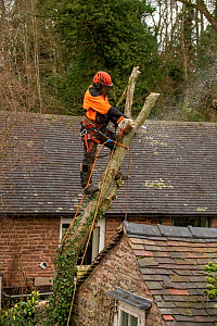 Tree surgeon felling Goat Willow (Salix caprea) which is damaging a building, Herefordshire Plateau, England, UK. January.  -  Will Watson