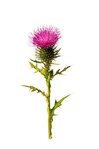 Spear thistle (Cirsium vulgare), Herefordshire Plateau, England, UK.  -  Will Watson