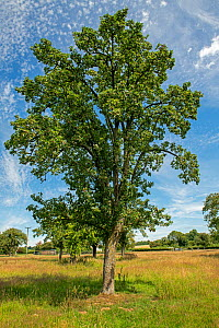 Perry pear (Pyrus communis) tree in old orchard, Herefordshire Plateau, England, UK. July.  -  Will Watson