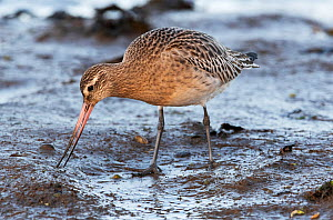 Bar-tailed godwit (Limosa lapponica) feeding by probing into the mud. Holy Island (Lindisfarne), Nothumberland, England, UK December.  -  Roger Powell
