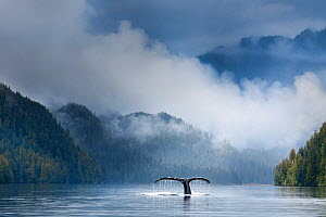 Adult humpback whale (Megaptera novaeangliae) diving in deep water channel. Great Bear Rainforest, British Columbia, Canada.(digitally stitched image)  -  Nick Garbutt