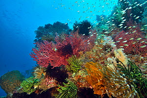 Reef with Knotted fan coral (Melithaea ochracea) and barrel sponge. Indonesia, Sea of Flores.  -  Pascal Kobeh