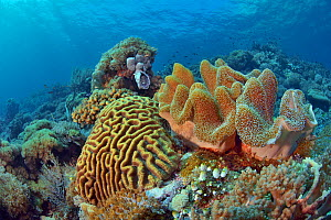 Reef with in the foreground hard corals (Lobophyllia sp., perhaps Lobophyllia robusta) and a soft coral. Indonesia, Sea of Flores.  -  Pascal Kobeh