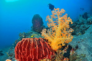 Barrel sponges (Xestospongia testudinaria) with soft corals (Dendronephthya sp.) and divers in the background, Indonesia, Sea of Flores  -  Pascal Kobeh