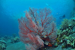 Knotted fan coral (Melithaea ochracea) with a diver in the background, Indonesia, Sea of Flores  -  Pascal Kobeh
