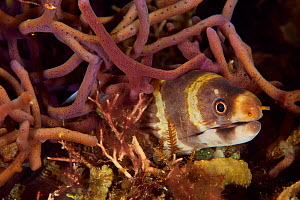 Juvenile Barred / Ringed reef moray (Echidna polyzona), Indonesia, Sea of Flores  -  Pascal Kobeh