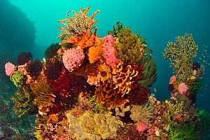 Coral formation with invertebrates and among them feather stars / crinoids and Green cup corals (Tubastrea micrantha) Indonesia, Sea of Flores.  -  Pascal Kobeh