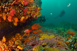 Divers on the reef covered with sea fans / gorgonians (Eunicella sp. and Leptogorgia sp.), false plum anemones (Pseudactinia flagellifera), sponges and spiny starfish / sea stars (Marthasterias glacia...  -  Pascal Kobeh