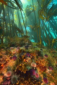 Kelp forest / sea bamboos (Ecklonia maxima) with the bottom covered with Cape urchins, Western Cape, South Africa. Atlantic Ocean.  -  Pascal Kobeh