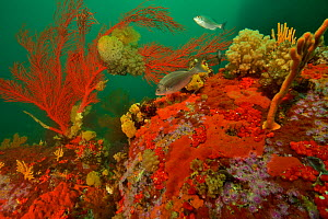 Reef with gorgonian corals / sea fans, soft corals and sponges, Western Cape, South Africa. Atlantic Ocean.  -  Pascal Kobeh