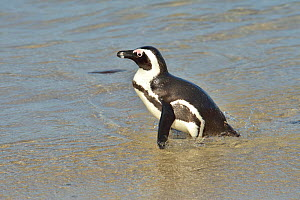 African / Cape penguin (Spheniscus demersus) in the water near Simon's Town, Western Cape, South Africa. Atlantic Ocean.  -  Pascal Kobeh