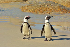 Two African / Cape penguins (Spheniscus demersus) on the beach near Simon's Town, Western Cape, South Africa. Atlantic Ocean.  -  Pascal Kobeh