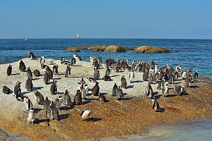Colony of African / Cape penguins (Spheniscus demersus) near Simon's Town, Western Cape, South Africa. Atlantic  -  Pascal Kobeh