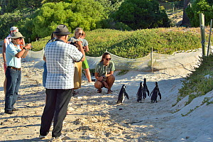 African / Cape penguins (Spheniscus demersus) on the beach with tourists near Simon's Town, Western Cape, South Africa. Atlantic Ocean.  -  Pascal Kobeh