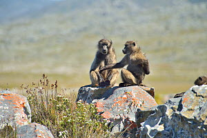 Two Chacma baboons (Papio ursinus) in the Cape peninsula , Western Cape, South Africa. Atlantic Ocean.  -  Pascal Kobeh