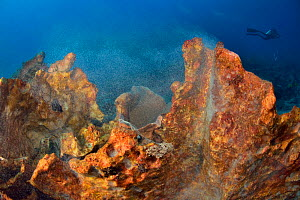 Giant sponge (Xestospongia sp.) releasing its gametes with a diver in the background, Indonesia, Sea of  -  Pascal Kobeh