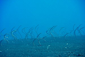 Field of Whitespotted / Spaghetti garden eels (Gorgasia maculata), Indonesia, Sea of Flores  -  Pascal Kobeh