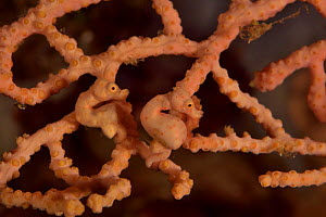 Two Denise seahorses (Hippocampus denise) on a seafan / gorgonian with a male pregnant, Indonesia, Sea of Flores  -  Pascal Kobeh