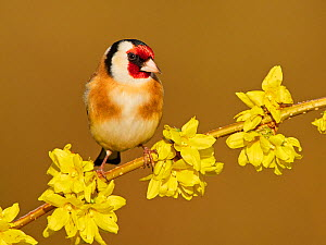 Goldfinch (Carduelis carduelis) on forsythia flower, UK, March.  -  Andy Rouse