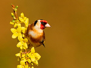 Goldfinch (Carduelis carduelis) on flowering forsythia, UK.  -  Andy Rouse