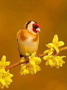 RF - Goldfinch(Carduelis carduelis) on spring bloom forsythia, UK. (This image may be licensed either as rights managed or royalty free.)  -  Andy Rouse