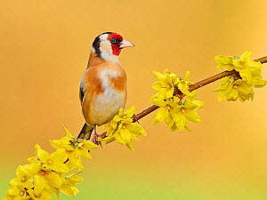 RF - Goldfinch (Carduelis carduelis) on flowering forsythia, UK. (This image may be licensed either as rights managed or royalty free.)  -  Andy Rouse