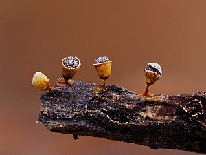 Slime mould (Craterium minutum) tiny sporangia in various stages of development on tiny twig, Buckinghamshire, England, UK, March Focus Stacked.  -  Andy Sands