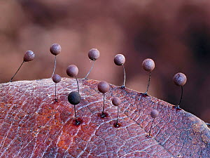 Slime mould (Comatricha lurida) 2mm tall sporangia growing on the surface of a leaf, Buckinghamshire, England, UK, March - Focus stacked.  -  Andy Sands