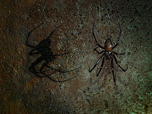 Cave spider (Meta menardi) in web on wall of underground air raid shelter tunnels, Hertfordshire, England, UK. February, .  -  Andy Sands