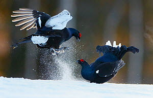 Two male Black grouse (Tetrao / Lyrurus tetrix) fighting at lek. Kuusamo, Finland, April.  -  Markus Varesvuo